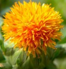 Bibit Bunga Safflower