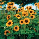 Sunflower Hopi