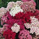 Bibit Bunga Sweet William