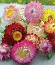 Bibit Bunga Strawflower Mix