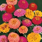 Bibit Bunga Zinnia California