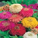 Bibit Bunga Zinnia Mix