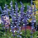 Bibit Bunga Blue Sage
