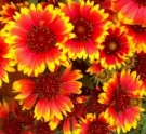 Bibit Bunga Indian Blanket