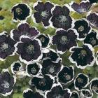 Bibit Bunga Nemophilia Black N02