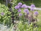 Bibit Bunga Purple Chives