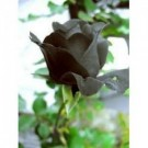 Bibit Bunga Rose Black