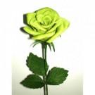 Bibit Bunga Rose Green