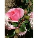 Bibit Bunga Rose Pink