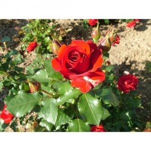 Bibit Bunga Rose Red R09