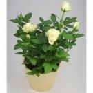 Bibit Bunga Rose White