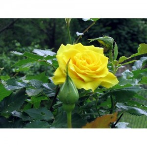 Bibit Bunga Rose Yellow R8