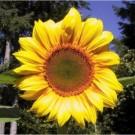 Bibit Bunga Sunflower Mammoth Grey