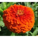 Zinnia Orange King