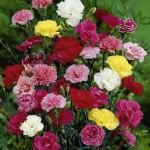 Benih Carnation Double Mixed 5 Biji – Non Retail