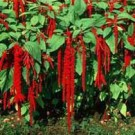 Amanthus Love Lies Bleeding