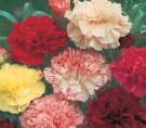 Carnation Double Mixed