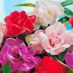 Benih Rose Balsam 15 Biji – Non Retail