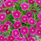 Chinese Pink Dianthus