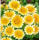 Chrysanthemum Garland Daisy