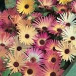 Benih Mesembryanthemum Livingstone 50 Biji – Non Retail