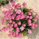 Zephyranthes Pink