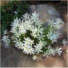 Zephyranthes Putih
