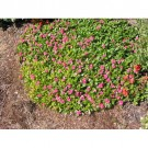 Bibit Bunga Cataranthus