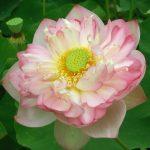 Benih Lotus Roseum Plenum 1 Biji – Non Retail