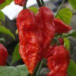 Benih Cabe Bhut Jolokia Merah (Red Bhut Jolokia) 4 Biji – Non Retail
