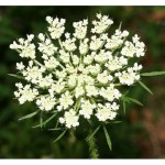Benih Queen Anne's Lace 20 Biji – Non Retail