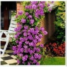 Bibit Bunga Climbing Rose Purple