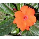 Bibit Bunga Impatiens Orange