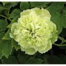 Bibit Bunga Peony Green