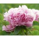 Bibit Bunga Peony Pink