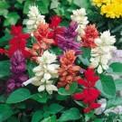 Bibit Bunga Salvia Palisade