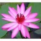 Pink Water Lily (Night Bloomer)