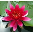 Red Water Lily (Night Bloomer)