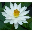 White Water Lily (Night Bloomer)