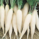 Lobak Putih (Ordinary Radish)