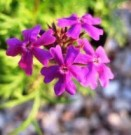 Bibit Bunga Verbena Mochi