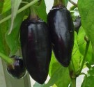 Cabe Black Hungarian Pepper