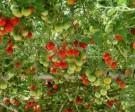 Tomat Italian Tree