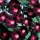 Morning Glory Kniola's Black