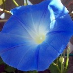 Benih Morning Glory Heavenly Blue 4 Biji – Non Retail