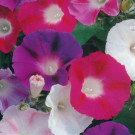 Morning Glory Choice Mixed