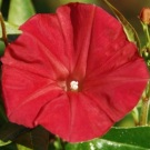 Morning Glory Scarlet O'Hara