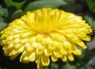Pacific Yellow Marigold