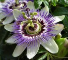 Bibit Bunga Passion Flower