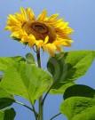 Bibit Bunga Sunflower Giant